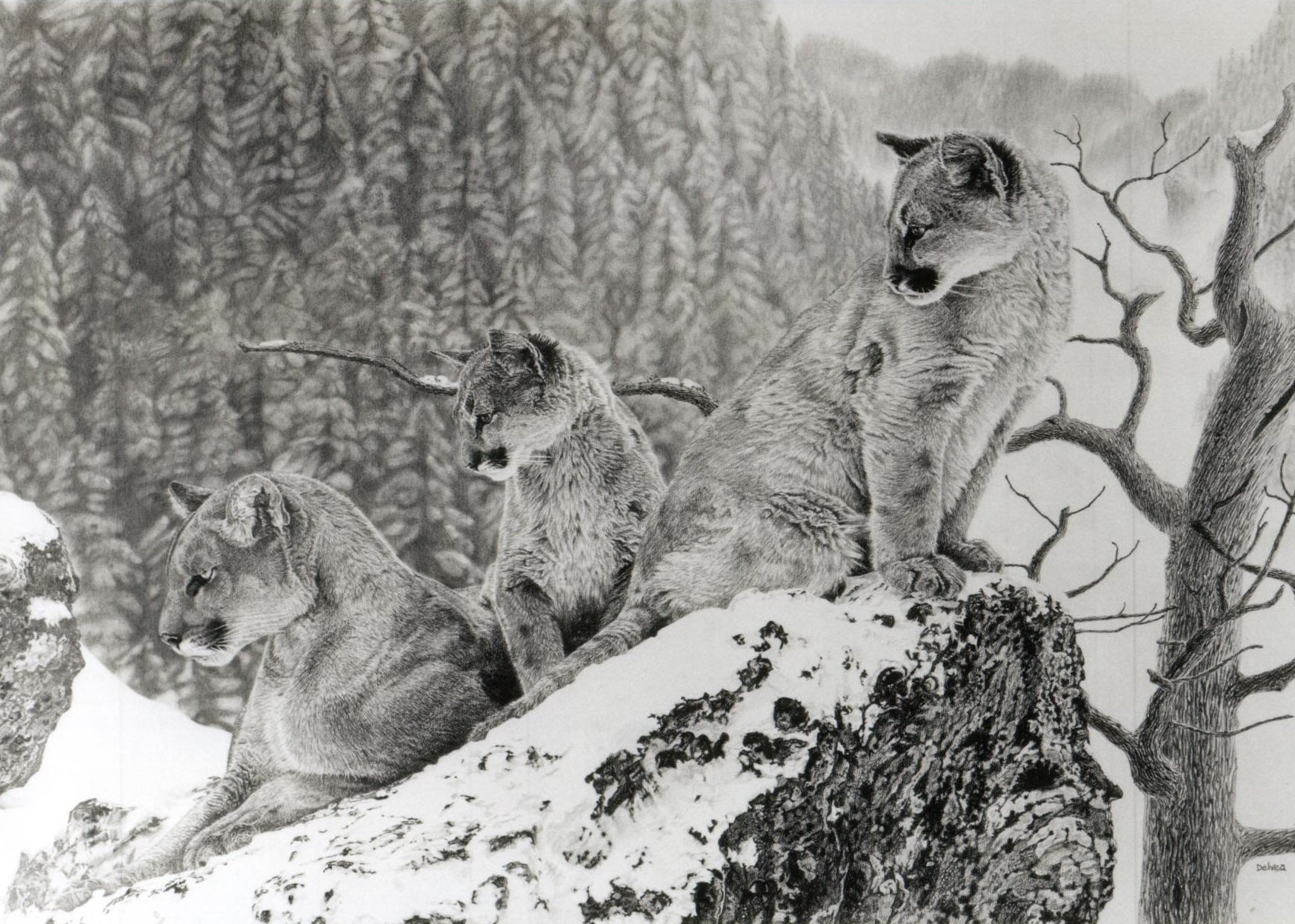 Drawing of a cougar by Delvea Tuff, titled Cougars.